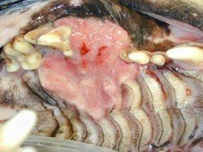 onco - tumormaxila