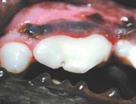 restauração de dente animal em resina fotopolimerizável