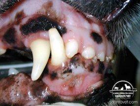 Paciente canino apresentando ferida na mucosa próximo aos incisivos