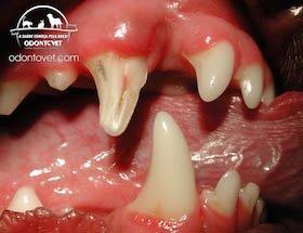 Dente canino superior direito de cão fraturado