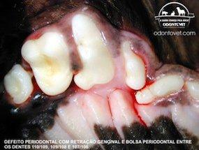 Dentes pré-molares e molares superiores esquerdo de um cão da raça Pug apresentando desalinhamento (giro-versão) e encavalamento (apinhamento)