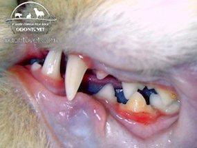 Boca de um gato onde nota-se o quarto pré-molar inferior esquerdo em destaque pelo acúmulo de tártaro (amarelado) e inflamação da gengiva (vermelhidão).