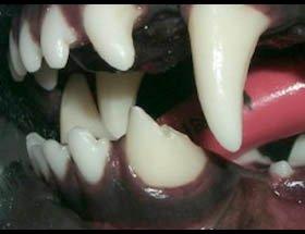 Fratura do canino inferior esquerdo, indicado tratamento de canal