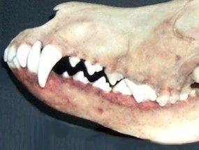 Crânio de cão mostrando a oclusão normal para a espécie