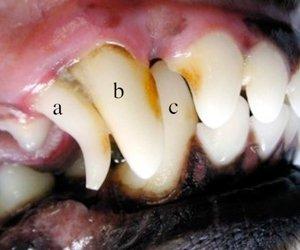 Imagem da boca de um filhote de cão de 6 meses de idade