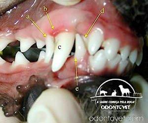 Imagem da boca de um filhote de cão de 6 meses de idade com persistência do canino de leite superior