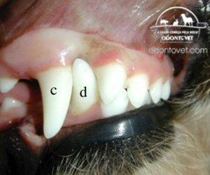Imagem da boca de um filhote de cão de 6 meses de idade com persistência dos caninos de leite superior (a) e inferior (e).