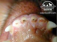 Dor de dente Pet desgaste de cão