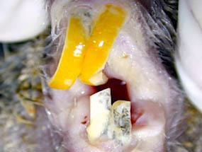 chinchila-inctortos-3