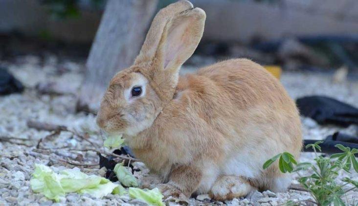 dentição dos coelhos