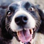 mau hálito em cães