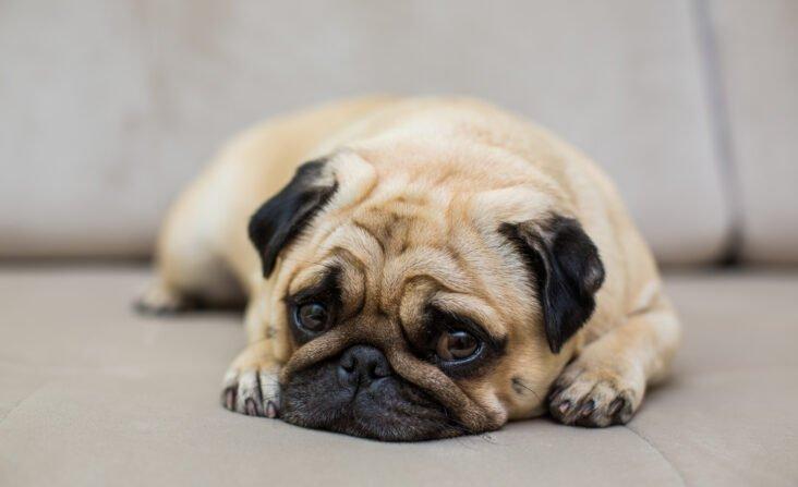 cachorrinho ronca